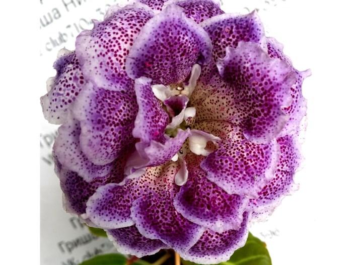 Sinningia speciosa 'GriN Severianochka' (N. Grisha) Double lilac wavy/yellow throat, purple speckles, wide lilac edge. Light green, standard Sinningia speciosa.