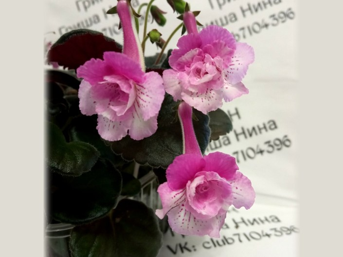 Sinningia 'GriN Kruzhevnitsa' (N. Grisha) Double flowers/lilac-pink upper lobes, pale pink lower lobes with lilac speckles. Dark green, mini sinningia.