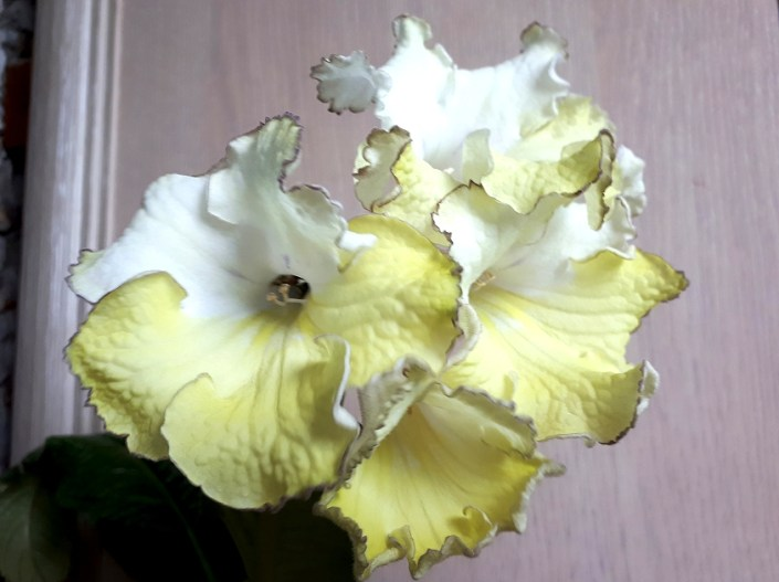 Streptocarpus 'ZM-Ellada' (Z. Metlushko) Large blooms, upper lobes white, lower lobes yellow, bronze frilled edge.
