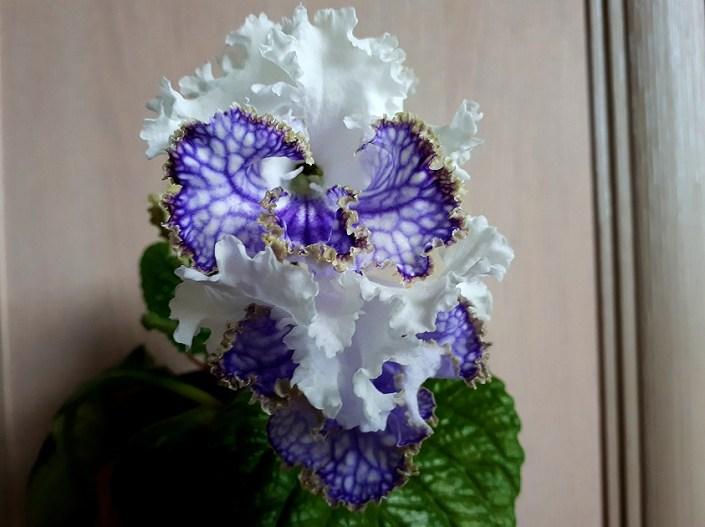 Streptocarpus 'ZM-Melisenta' (Z. Metlushko) Large frilled white/blue veining and bronze edge on lower lobes.