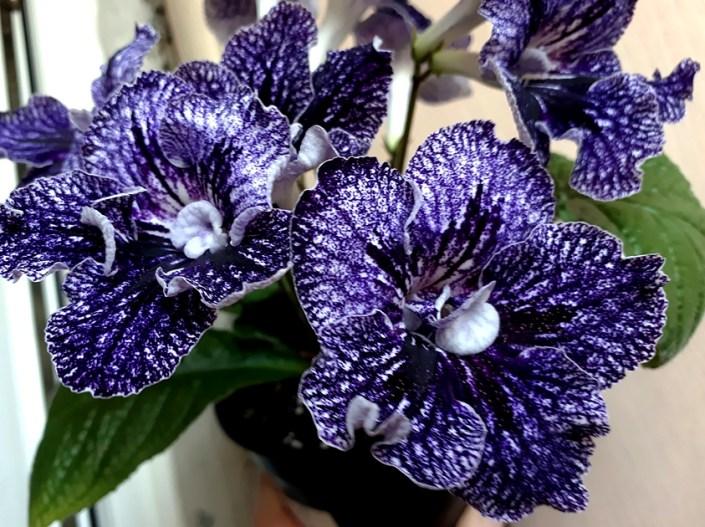 Streptocarpus 'ZM-Mistika' (Z. Metlushko) Large semidouble white with dense purple-blue netting.