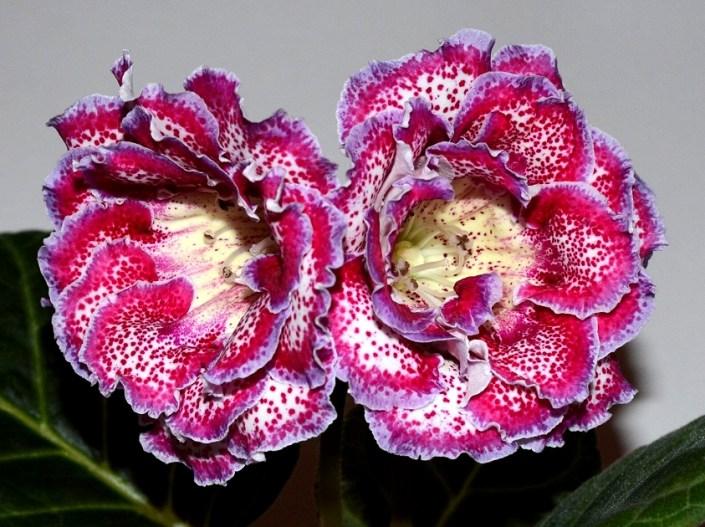 Sinningia speciosa 'EN-Vitaminka' (E. Nikolaeva) Large double white-cream flowers, bright pink-cherry speckles/band, lilac edge, yellow throat. Standard