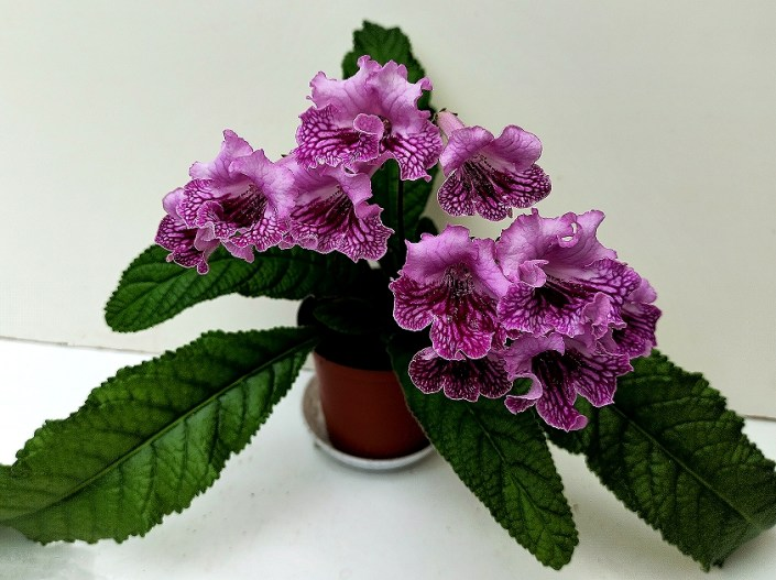 Streptocarpus 'RS-Erika' (S. Repkina) Pink frilled blooms with cherry netting on lower petals. Semiminiature