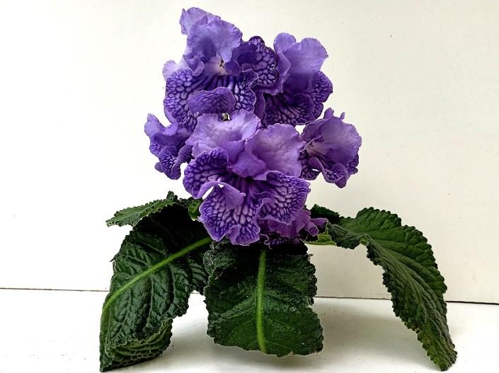 Streptocarpus 'RS-Goliaf' (S. Repkina) Huge lilac frilled blooms/purple netting on lower lobes. Large standard