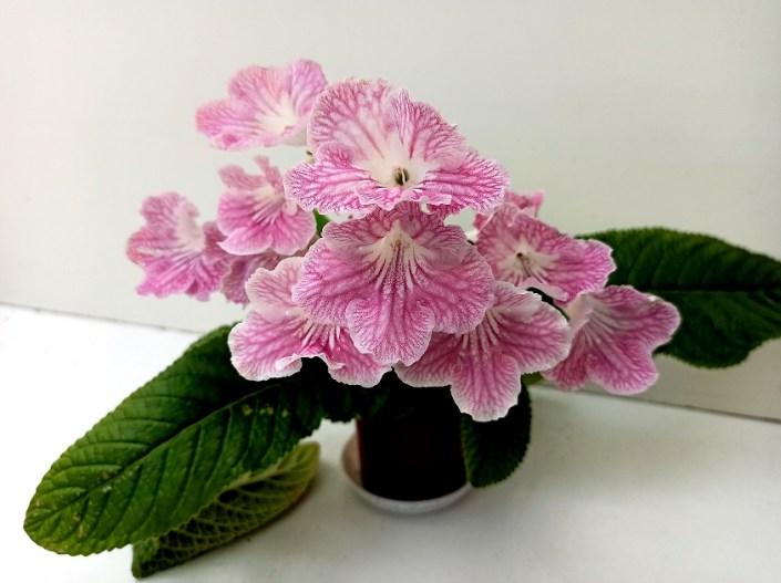 Streptocarpus 'RS-Melodiia Liubvi' (S. Repkina) Large white blooms/pink netting. Standard