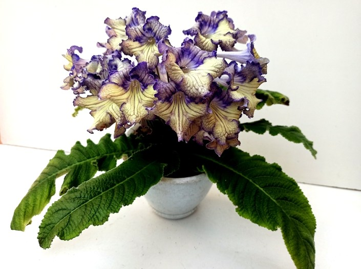 Streptocarpus 'RS-Pizhon' (S. Repkina) Large blooms, yellow-purple upper lobes, yellow lower lobes with purple edge. Standard