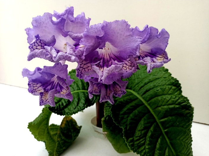 Streptocarpus 'RS-Serfing' (S. Repkina) Huge frilled blooms/lilac upper lobes lilac-yellow lower lobes with purple netting. Large standard
