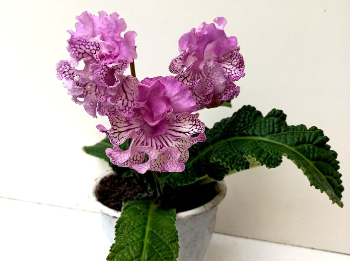 Streptocarpus 'RS-Vikontessa' (S. Repkina) Large semidouble frilled blooms, pink upper lobes, pale pink lower lobes with cherry netting. Standard