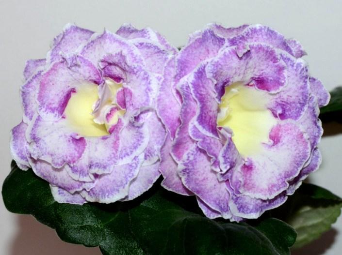 Sinningia speciosa 'EN-Alexandriia' (E. Nikolaeva) Large multi-row white/pink-lilac speckles, lemon throat, lilac band, white edge. Neat rosette, standard
