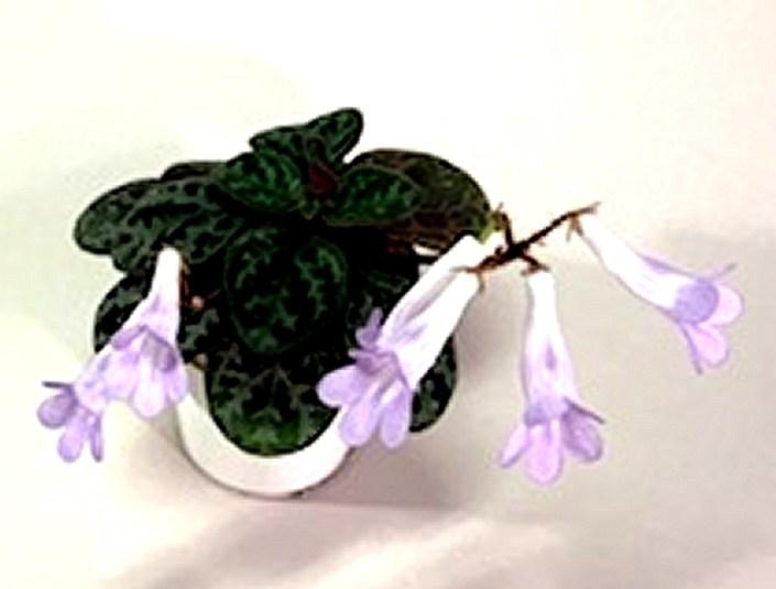 Primulina 'Yungfuensis'