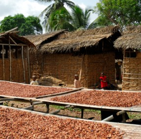 cocoa farming