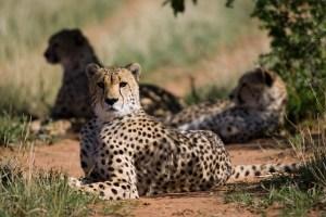 Metabolic Profiling of Cheetahs in Captivity