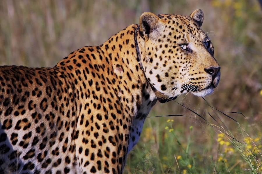 Sponsor A Leopard The Africat Foundation