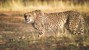 AfriCat Cheetah Rehabilitation Program