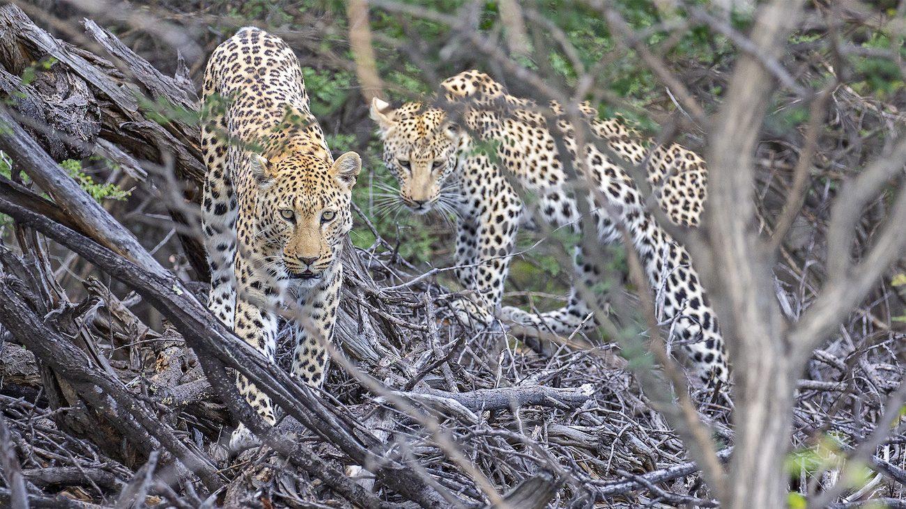 AfriCat Leopard Research 2019