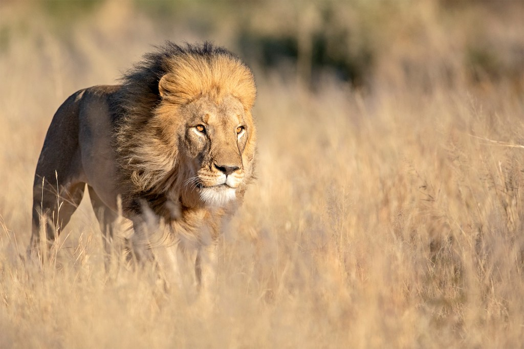 Lion on Okonjima Namibia