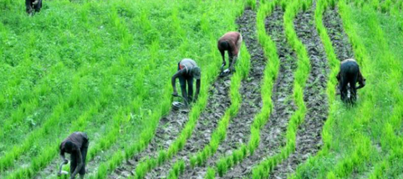 International Institute of tropical agriculture launches mobile application to help farmers control weeds