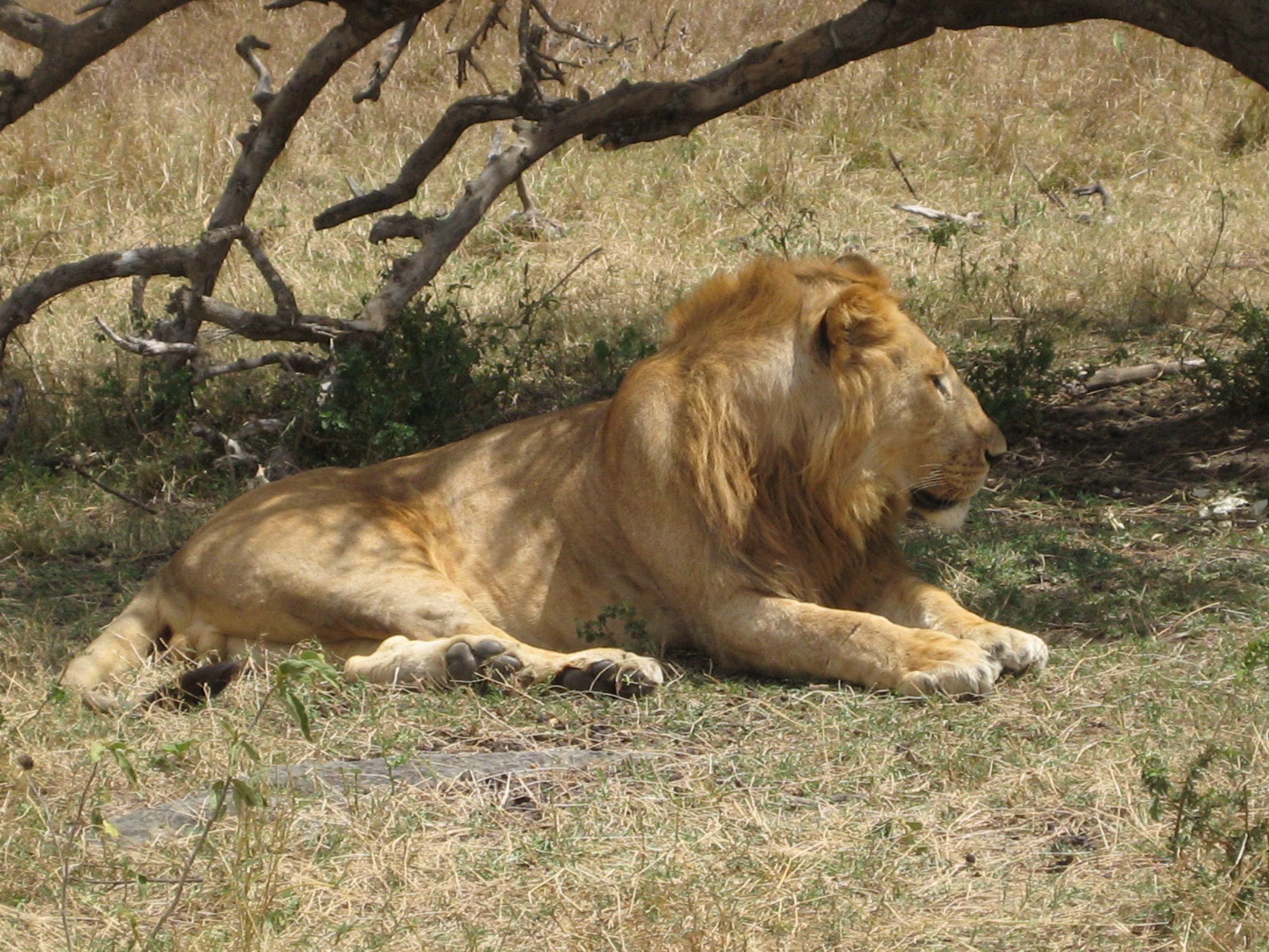Masai Mara Kenya Lion