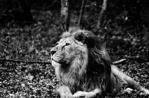 Lion-en-Afrique-pouvoir-credits-Anne-LANDOIS-FAVRET-licence-creative-commons