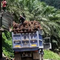 Dossier – Enquête sur les investissements du groupe Bolloré dans des plantations africaines