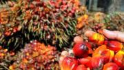 palmeraie à huile
