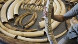 Les ivoires d'éléphant