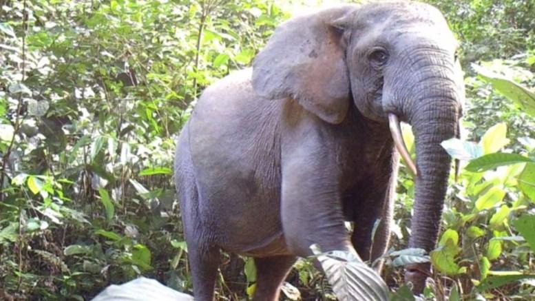 éléphants braconnage