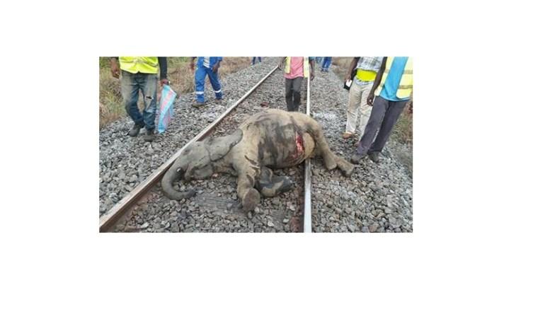 Éléphant tué par le train