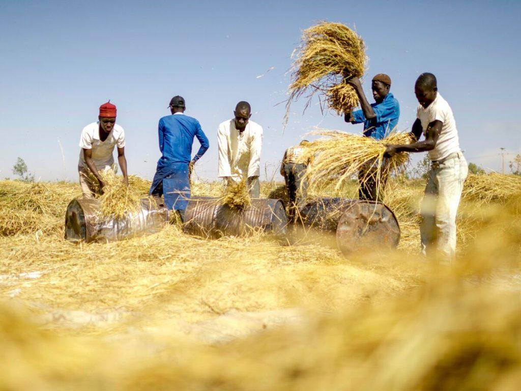 Nigéria producteur de riz d'Afrique