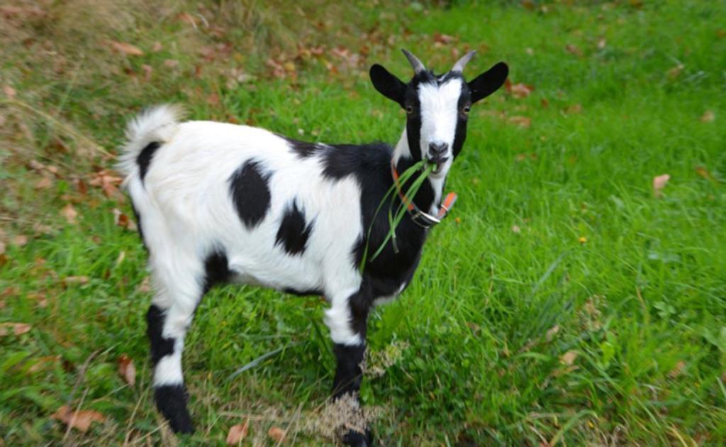 France Dijon Congolais égorgé chèvres