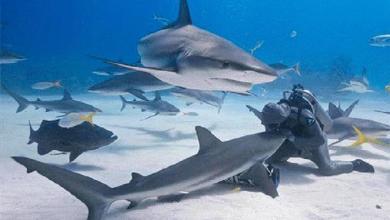 Shark dancer dances with sharks and overlook their fierce bites