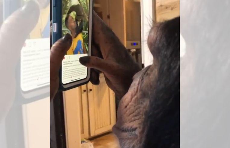 Chimpanzee that scrolls through Instagram: dark side to it
