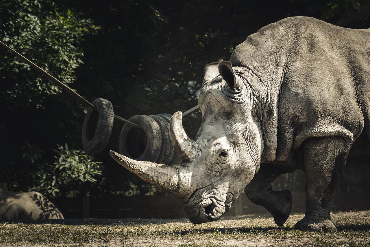 Oldest black rhino in the world died in Tanzania