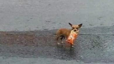 Dog fetches chips for the owner who is in quarantine