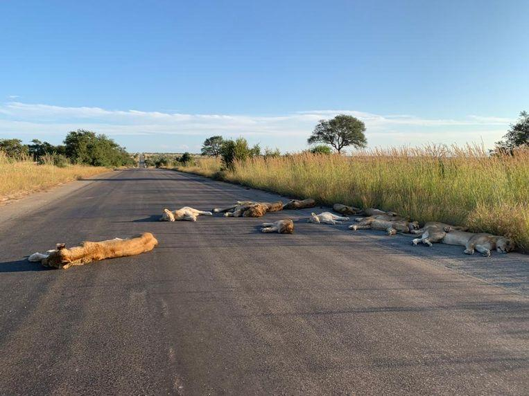 Lockdown: Lions in Kruger Park enjoying the road in South Africa