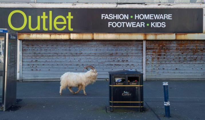 A wild goat walks past a closed clothing store in Wales.