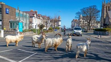 In Wales, residents stay in while wild goats enjoying the streets