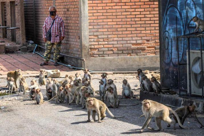 """""""We must live in cage"""": violent 'monkey gangs' control Thai city"""