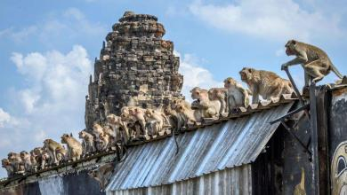 """Thai city startled by violent 'monkey gangs': """"We must live in a cage"""""""