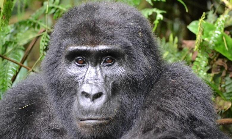 Poacher who killed mountain gorilla 'Rafiki' in Uganda imprisoned for 11 years