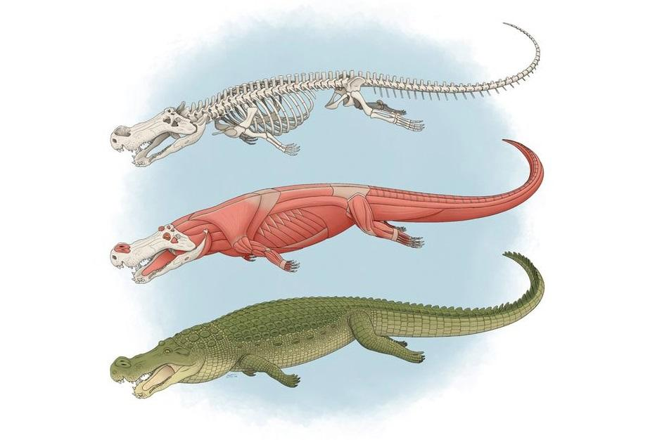 Size of bus and teeth like bananas: 'Terror crocodile' conquered dinosaurs