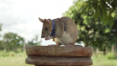 Meet Magawa, a bomb-clearing rat born and trained in Tanzanian