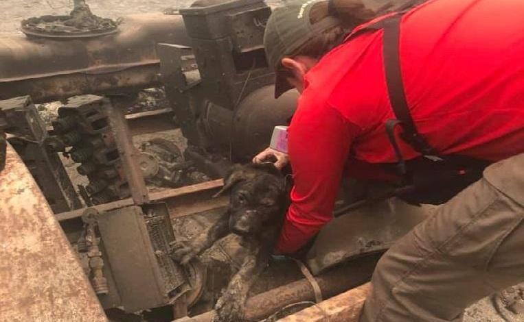 Puppy found alive in the ashes of California bushfire