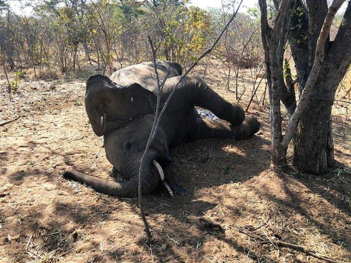 Scientists discover the cause of the sudden death of 34 elephants in Zimbabwe