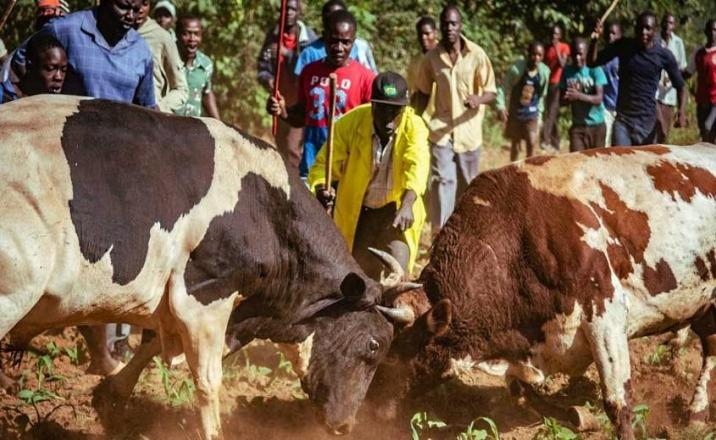 Bull-fighting in Luhya community in western Kenya
