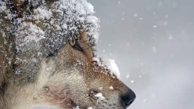 The small dog gave his life to save a child from a wolf - Video
