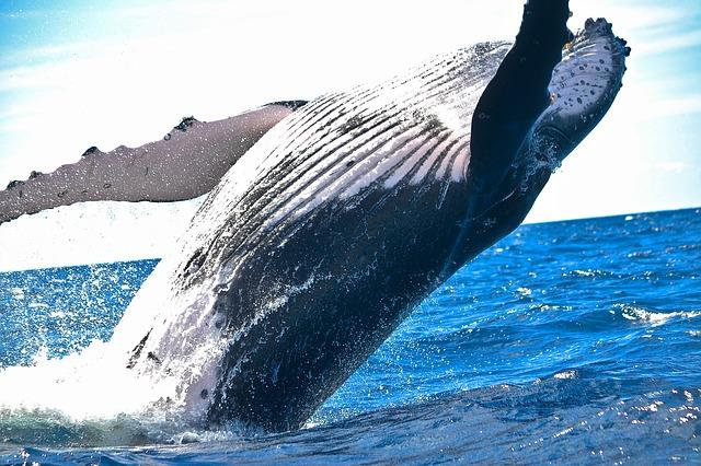 Blue Whale Top 5 Strongest animals in the ocean