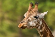 Phenomenon of dwarf giraffes spotted in Africa explained