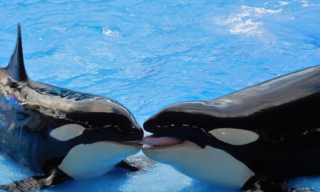 Orcas (Killer whale)