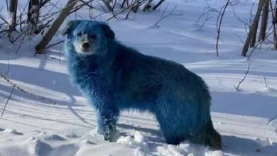 Mysterious blue dogs in Russia: why their fur is blue?